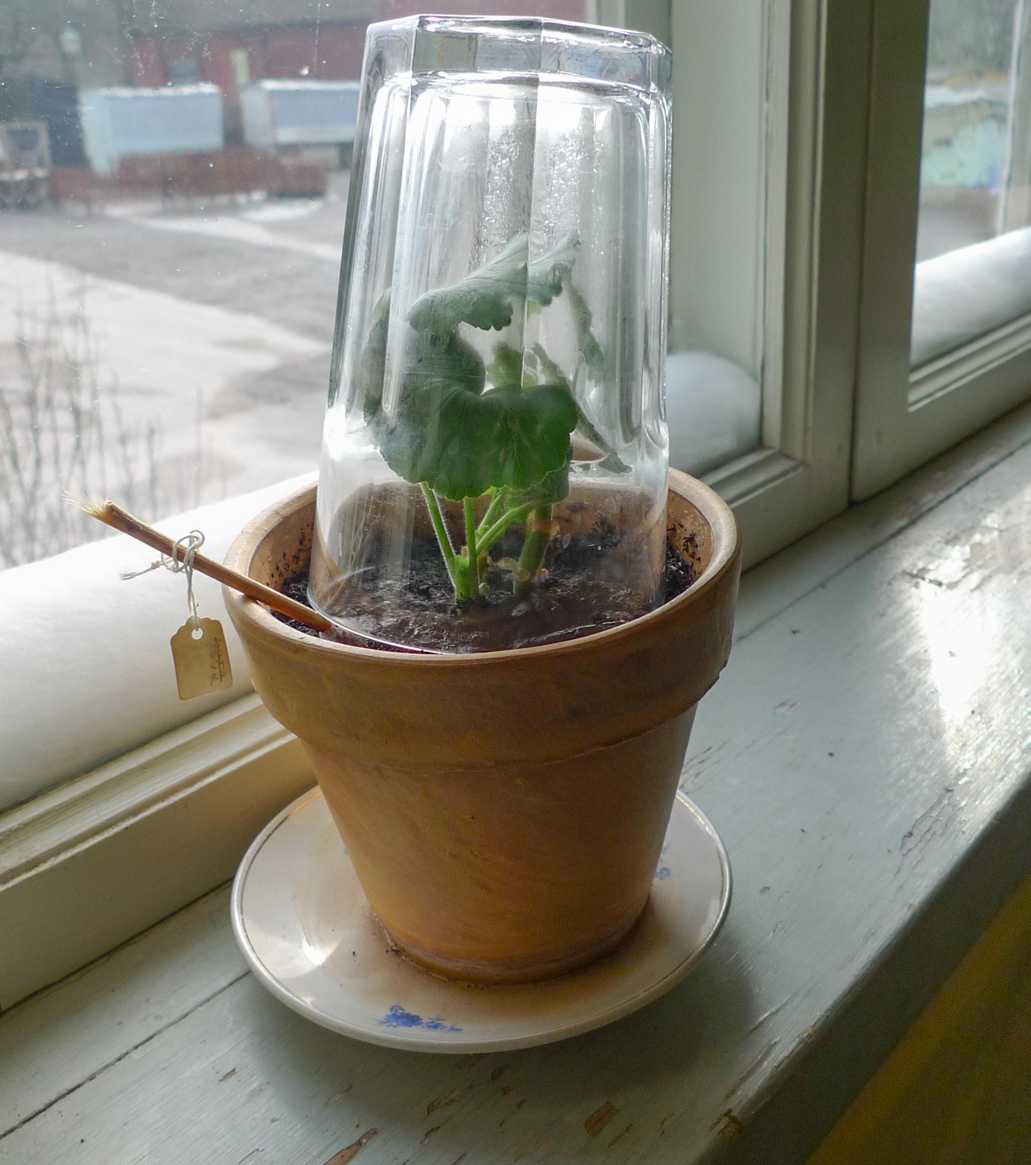 Om man vill hjälpa skottet på traven kan man stjälpa ett glas över det, med en luftspringa ordnad längst ner. Man kan också ställa hela krukan i en plastpåse som ordnas så att det blir som ett växthus upptill. Dock får man inte knyta till så det blir tätt utan man måste lämna lufthål upptill. När skotten ser pigga och glada ut och skjuter nya skott kan man vara säker på att det bildats rötter.