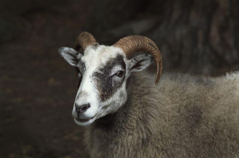 Ett av Skansens alla får som bidrar till vår ullproduktion. Foto: Marie Andersson