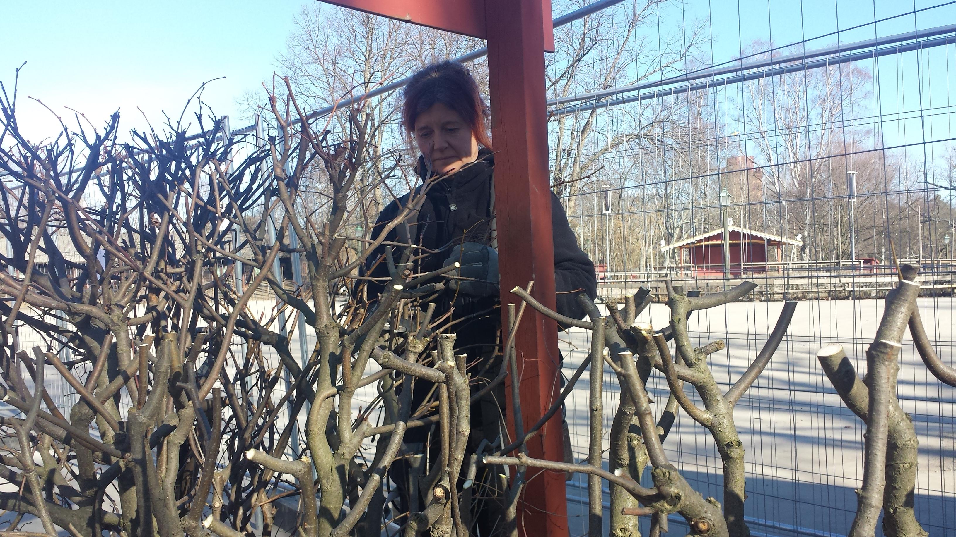 Beskärning av Skogaholms lindhäckar