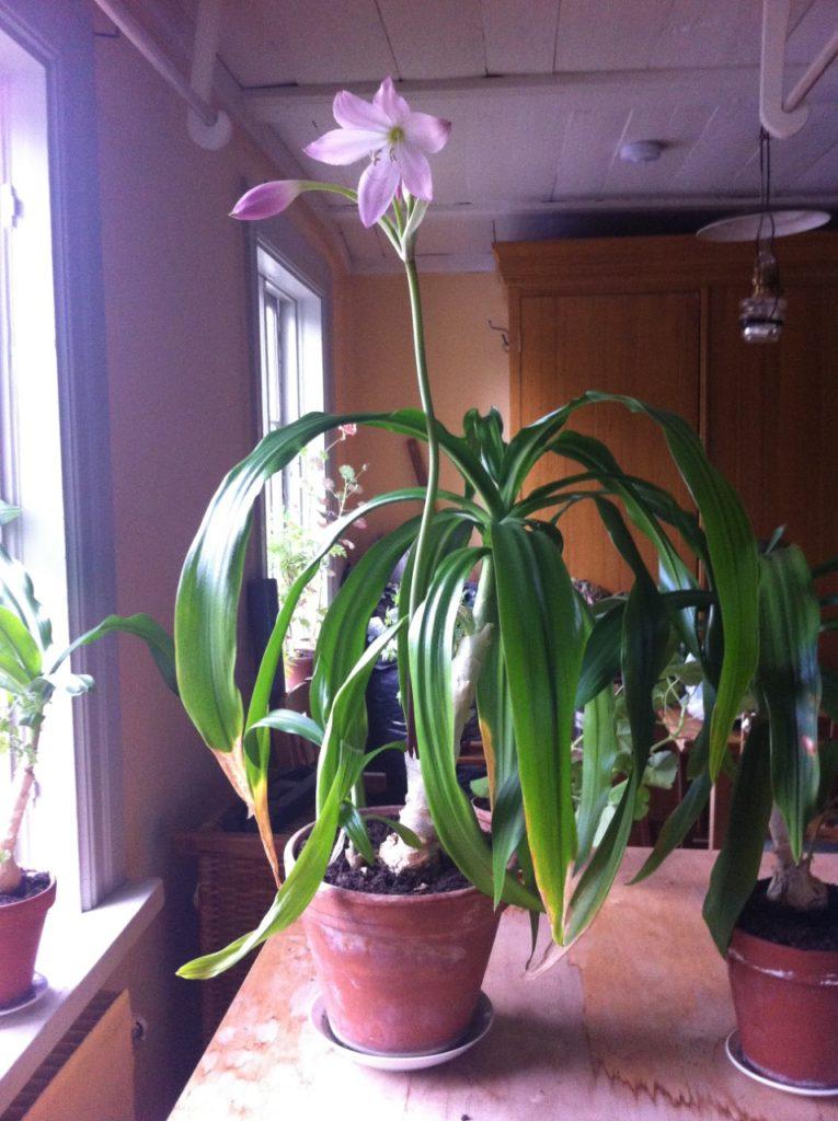 Mormorslöken - Fönsterkrinum. Blomstängeln skjuter upp direkt ifrån löken. Klockorna öppnas en i taget. När den inte blommar liknar den mer en liten palm.